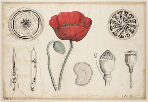 Lithograph Diagram of Poppy Flower